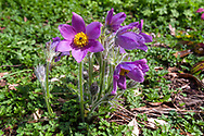 A group of Pasque flowers (Pulsatilla vulgaris - formerly called Anemone pulsatilla) blooming in spring in a backyard garden. Pasque flowers are usually some of the first blooms to appear in the spring garden after bulbs such as daffodils and bluebells.