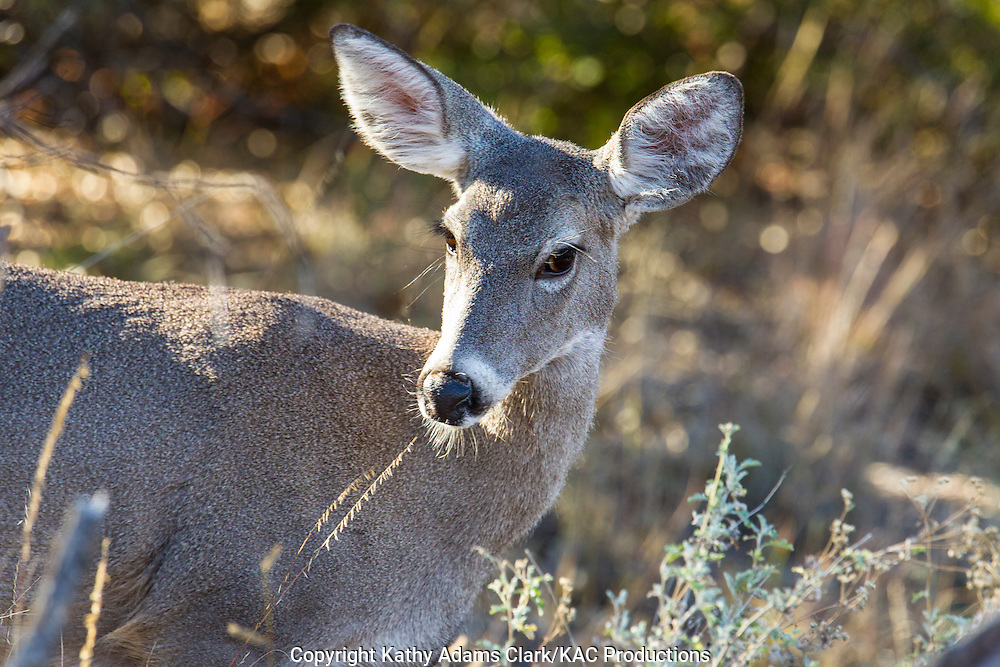 Carmen white-tailed deer, Big Bend National Park, Chihuahuan Desert, west Texas