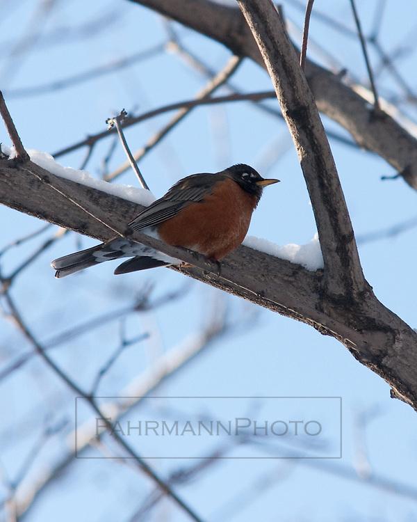American Robin Resting near a Snowy Branch