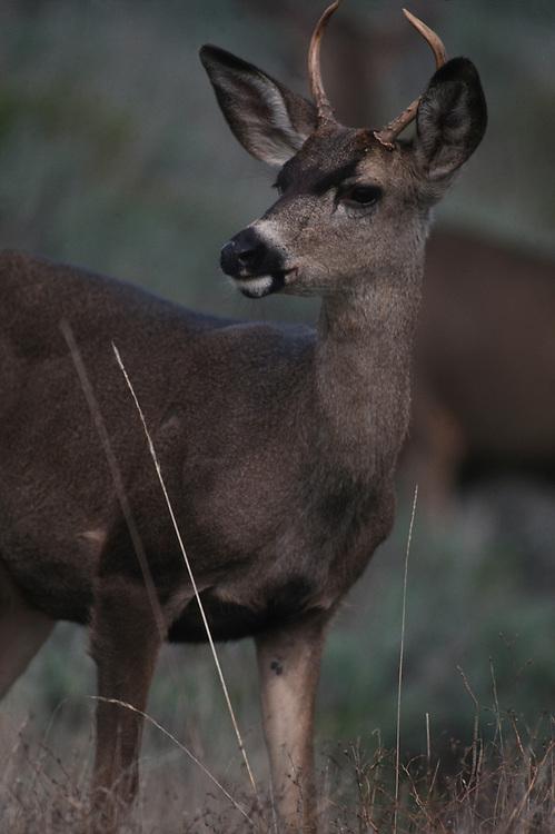 USA, California, Point Lobos State Reserve, Black tail Deer (Odocoileus heminus) in field on Monterey Peninsula
