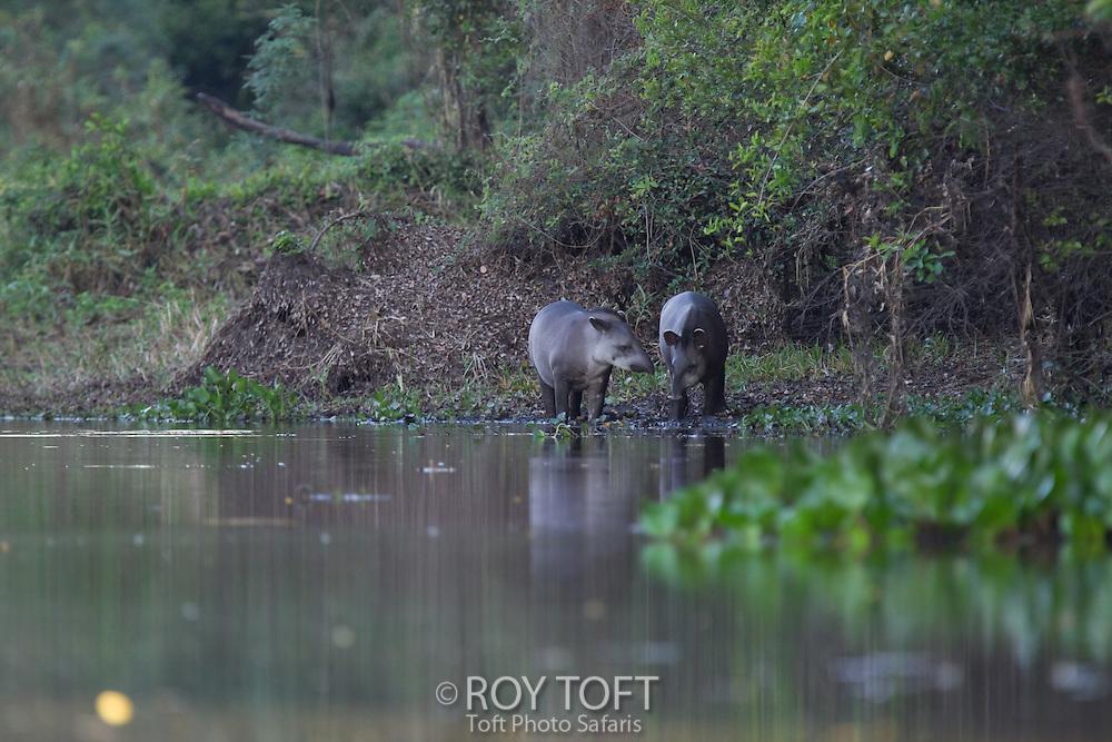 South American Tapir (Tapirus terrestris), Pantanal, Brazil