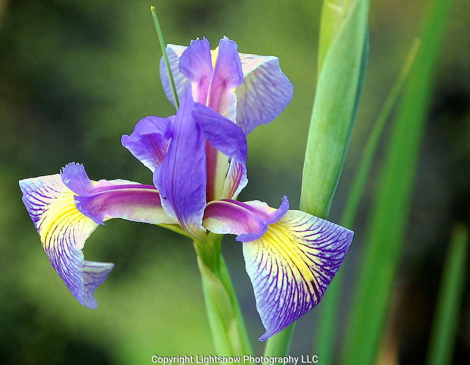 This is a Prairie Iris, also called an Angle Pod Blue Flag.  The Iris was photographed at Wakodahatchee Wetlands in Delray Beach, Florida.