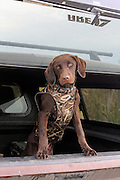 Young Labrador Retriever ready for some retrieving work in Manitoba.