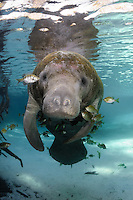 Florida manatee, Trichechus manatus latirostris, a subspecies of the West Indian manatee, endangered. This adult is surrounded by fish, bream, Lepomis spp. The manatee is tolerating the fish attention as it is the price to pay for sharing the warm waters. Bream target dermis and dead skin on the manatee. Pink residue on the manatee is from chalk marks applied by researchers or officials. Vertical orientation with reflection and soft light rays. Three Sisters Springs, Crystal River National Wildlife Refuge, Kings Bay, Crystal River, Citrus County, Florida USA.