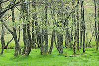 Grove of Birch trees in spring Glen Nevis Scotland