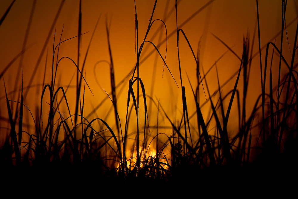 ICF_Prairie.-Prairie Grass at sunrise looks like it is on fire.  The International Crane Foundation's (ICF) mission is to conserve cranes and the ecosystems, or landscapes, on which they depend. In 1980 ICF began restoring native prairie, savanna, wetland, and woodland communities on the newly acquired 160 acre property north of Baraboo, Wisconsin.  The site now serves as an outdoor laboratory with over 100 acres of restored landscapes alongside another 60 acres of natural landscape, where the process of restoration can be explored and the lessons applied worldwide.