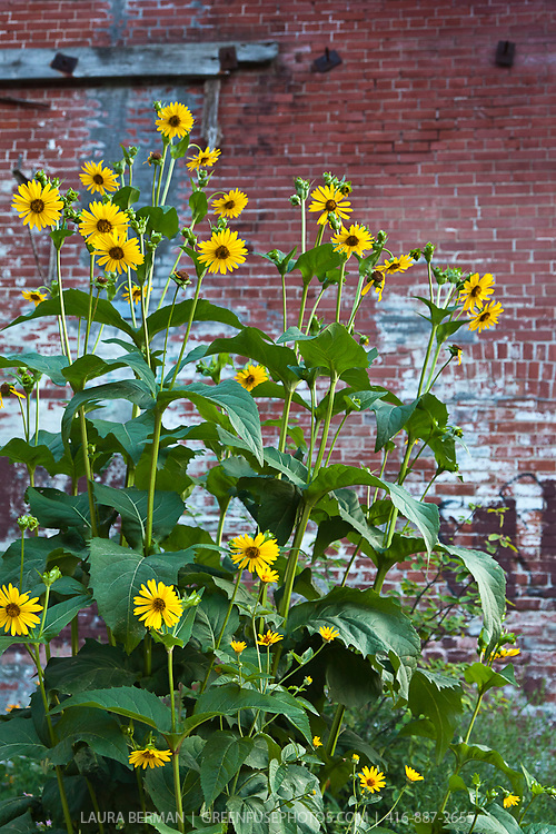 The native perennial Cup plant growing in an urban area  (Silphium perfoliatum).