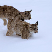 Canada Lynx, (Lynx canadensis) Montana. Sub adults playing and running in snow. Winter. Captive Animal.