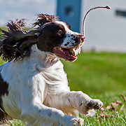 Parker, at play during a break at the 2013 ESSFTA National.  Playtime took place on a Fall afternoon, November1, 2013, at Purina Farms, in  Gray Summit, MO.  Photography by Melody Carranza.