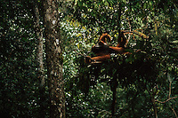 An adult male orangutan sleeps in a nest in the trees