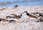 Ruddy Turnstone's during Spring migration. Pickering Beach, Delaware