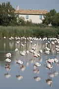 Flamingoes in the Camargue, Provence, France