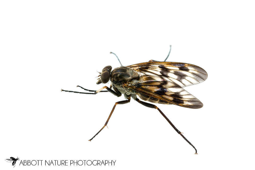 Common Snipe Fly (Rhagio mystaceus)<br /> ALABAMA: Tuscaloosa Co.<br /> Tulip Tree Springs off Echola Rd.; Elrod<br /> 15-April-2016<br /> J.C. Abbott #2795 &amp; K.K. Abbott