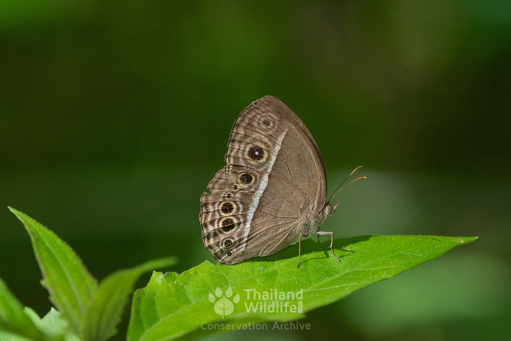 Mycalesis intermedia is a species of Satyrinae butterfly found in Burma, Thailand, Peninsular Malaysia, Langkawi Island, Indo China, S.Yunnan and India.