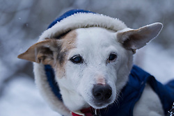 Jack Russell dog in a winter coat
