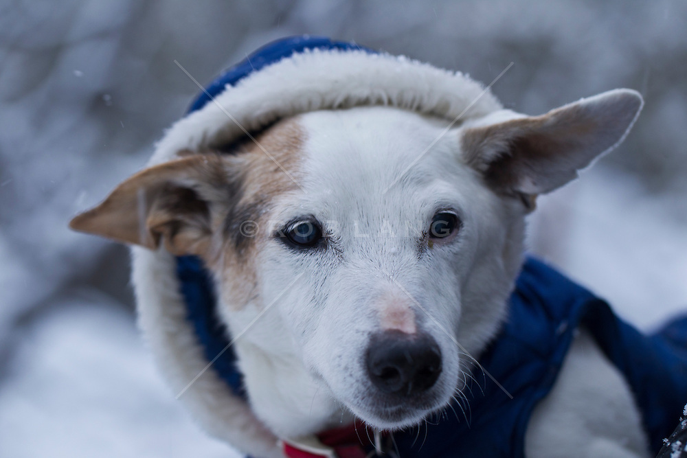 Jack Russell dog wearing a winter coat | ROB LANG IMAGES
