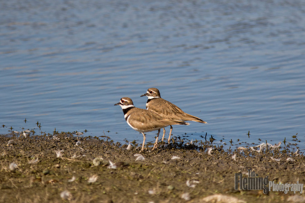 The killdeer is a medium-sized plover, often found on the water's edge
