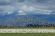 Large flock of Snow Geese (Chen caerulescens) in the lower Skagit Valley Washington