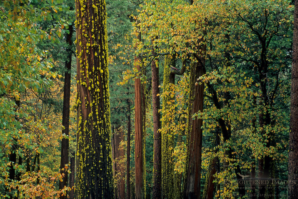 Mixed forest in fall, Yosemite Valley, Yosemite National Park, CALIFORNIA