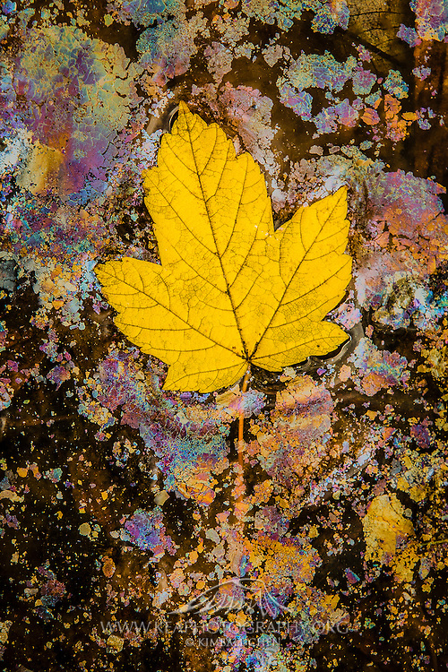 Along the banks of the Arrow River in Arrowtown, a golden leaf delicately floats upon the oily surface a shallow pool of water.  Vibrant autumn colors can be found not only on the trees and hillsides of Arrowtown, but also in more intimate and hidden pockets of nature.