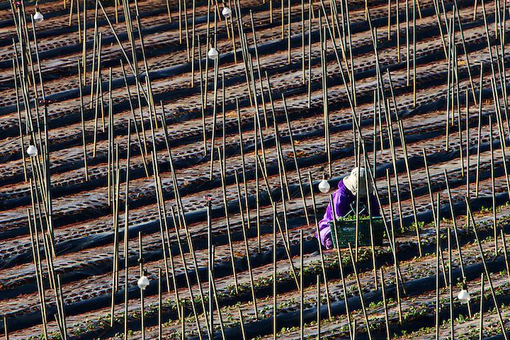 Worker in a flower field between Ogimi and Motobu