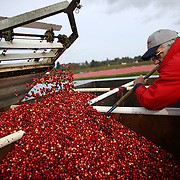 Blane Saunders evens out cranberries as they fall off an elevator during the the October 11, 2013 harvest at Cran Mac farm in Ilwaco, on the Washington coast. October and November are the typical harvest months for cranberries in our state. Washington is one of the top producers of the cranberry crop. The berries grow on a small bush and the bogs where they grow are flooded and agitated with a machine, which caused the berries to float to the top for harvest. Owners Ardell and Malcolm McPhall have worked the farm since 1982. (Joshua Trujillo, seattlepi.com)