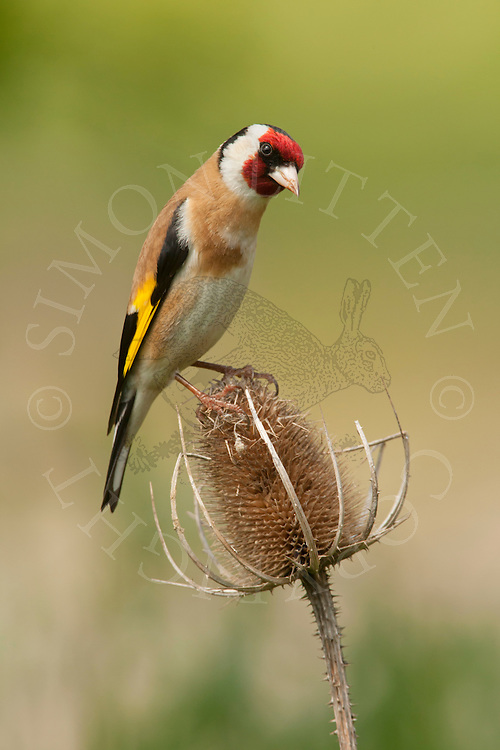 European Goldfinch (Carduelis carduelis) adult, perched on twig, summer, Norfolk, UK.