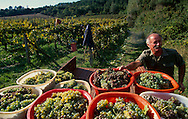 Grape harvest in Toscana.