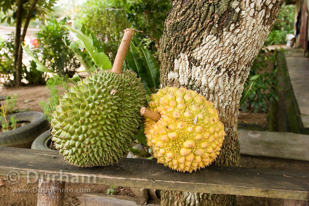 Durian (Durio zibethinus) fruit ripening in a Orang Asli village in johore, Malaysia. Durina fruit is usually left to ripen outdoors because of the pungent, foul odor it produces.