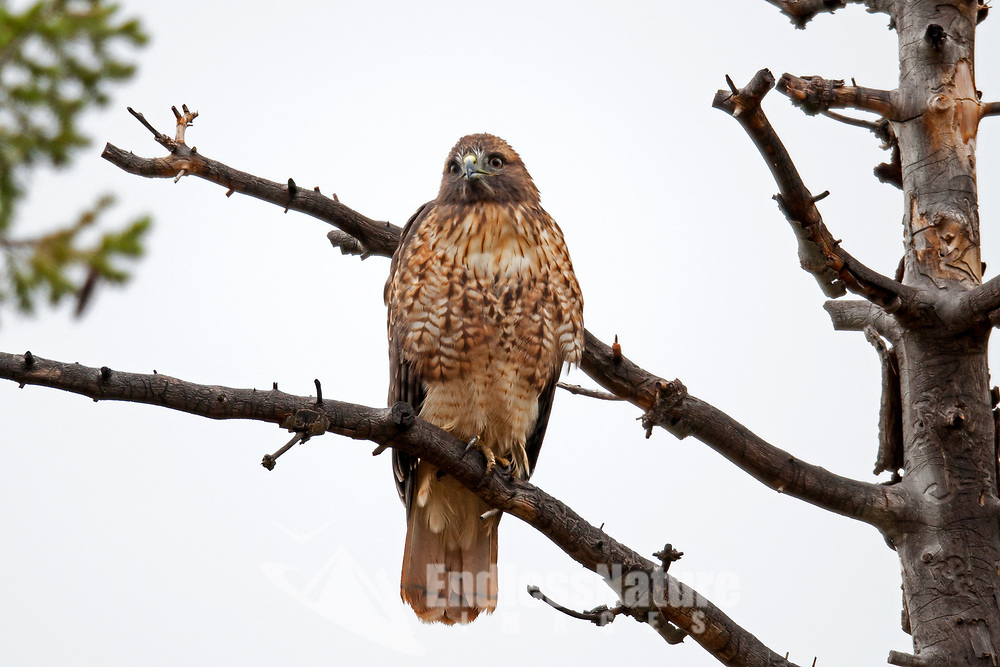 A Red Tailed Hawk perched on a branch of a dead pine tree tries to dry off after a quick but heavy rainstorm.