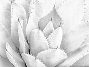 Agave Detail, Huntington Botanical Gardens, San Marino, California  2004
