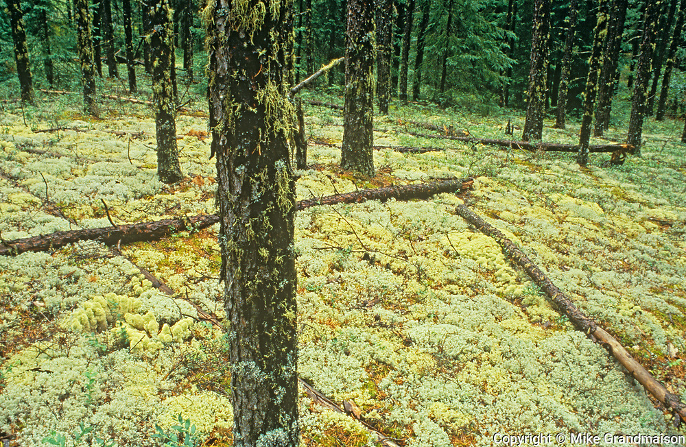 Lichens on forets floor of jack pine forest (Pinus resinosus), Near Leaf Rapids, Manitoba, Canada