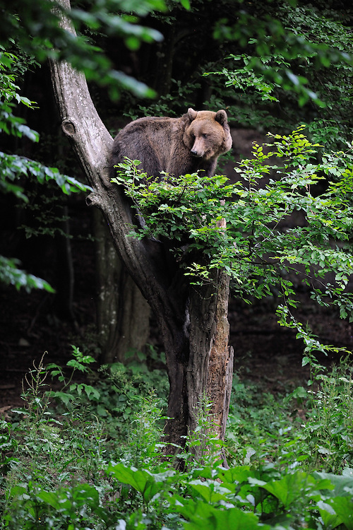 Eurasian brown bear, Ursus arctos, at a bear watching site in Sinca Noua, Piatra Craiului National Park, Southern Carpathians, Romania, Rewilding Europe site