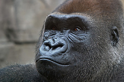 03 July 2006  A quick vacation through Iowa to Omaha.  Western Lowland Gorilla. (Photo by Alan Look)