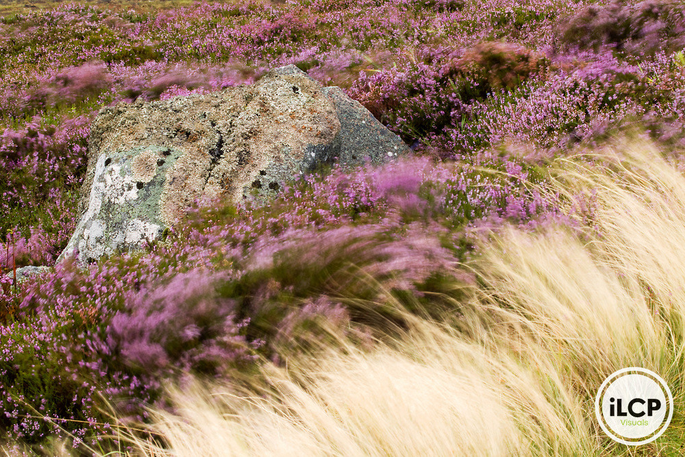 Heather (Calluna vulgaris) and grass blowing in the wind in moorland, Scottish Highlands, Cairngorms National Park, Scotland, United Kingdom