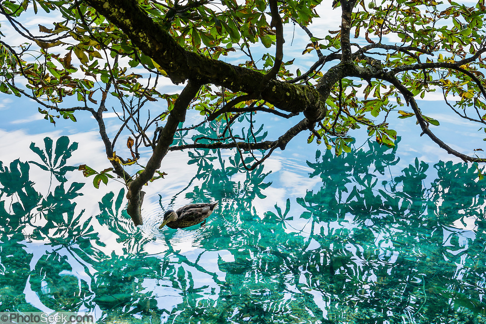 A duck swims across an intricate pattern of leaves reflected in the emerald and blue waters of Lake Bled (Blejsko jezero), in the Julian Alps, Slovenia, Europe. Lake Bled hosted the World Rowing Championships in 1966, 1979, 1989, and 2011. The lake is 35 kilometers from Ljubljana International Airport.