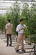 Tomater inspekteras i Iwaki City, Fukushima.<br /> <br /> Inspection of tomatoes in Iwaki City, Fukushima Prefecture, Japan.