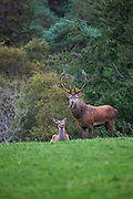 Red Deer stag and harem, Cervus elaphus, in Killarney National Park, Kerry, Ireland, during the annual rutting season. Native to Ireland since the last ice age, the red deer population dwindled to around 60 at the turn of the 20th century, but thanks to protection and management now number in the hundreds. During the rutting season, the stags gather around 5 hinds into a harem, and give out a loud, deep roar to challenge or ward off other males. Inexplicably, the red deer hinds are still hunted in Ireland, although it's illegal to hunt the stags in Kerry. Copyright 2011 Dave Walsh. All Rights Reserved.