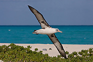Laysan Albatross photos