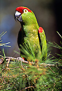 350102-1063  ~ Copyright:  George H. H. Huey ~ Thick billed parrot [Rhynchopsitta pachyrhyncha] in native habitat in Chiricahua pine tree. Chiricahua Mountains. Arizona.  This species now found in the wild only in the state of Chihuahua, Mexico in the Sierra Madre Occidental.