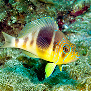 Barred Hamlet inhabit reefs in Tropical West Atlantic; picture taken San Salvador, Bahamas.