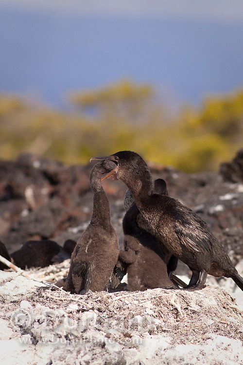 Flightless cormorant (Phalacrocorax harrisi) using regurgitation to feed her young while nesting on Isabela Island, Galapagos Archipelago - Ecuador.