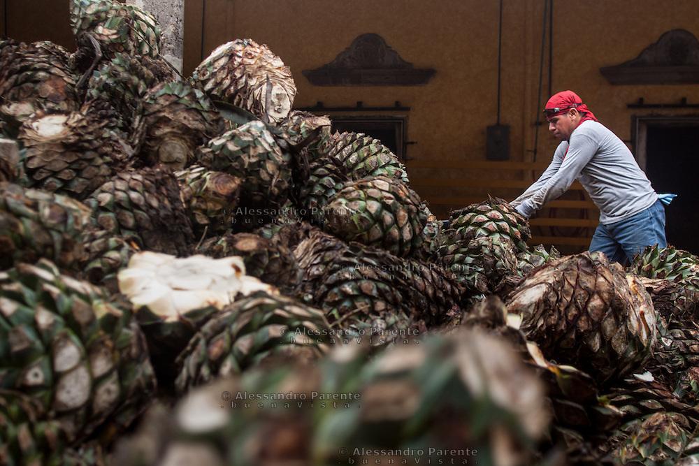 Un operaio della Jose Cuervo posiziona le &quot; pigne &quot; di agave grandi per metterle nei forni.<br /> A jose cuervo worker organize agave before coocking them in the ovens