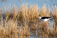 Springtime in the marsh has a Black Necked Stilt feeding along the edge of a marsh pond.