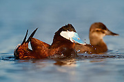 Ruddy Ducks, Oxyura jamaicensis, male & female, Day County, South Dakota