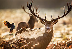 © Licensed to London News Pictures. 28/12/2017. London, UK. A crow lands on a stag deer in a frosty Richmond Park. Tonight is predicted to be the coldest night of the year with temperatures as low as minus 15 °C in some parts of the UK. Photo credit: Peter Macdiarmid/LNP