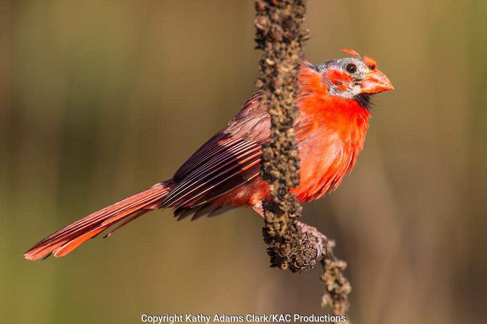 Northern cardinal (Cardinalis cardinalis) with head mites in the Texas Hill Country near Fredericksburg.