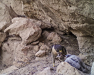 Adult female peregrine falcon presents 3-week-old nestling with a mourning dove carcass. The prematurely fledged nestling was placed in this ledge cave when found on the talus slope to give him some protection from weather and predators, knowing that the adults would continue his care. [photo by motion-activated camera, low-resolution limits repro. size]