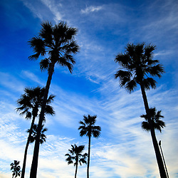 Palm trees Newport Beach photo. Palm trees in the morning in Newport Beach California with a dramatic blue sky.