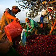 Partners at the Starbucks-owned Hacienda Alsacia coffee farm load freshly picked coffee cherry into a trailer during the 2016 harvest. (Joshua Trujillo, Starbucks)